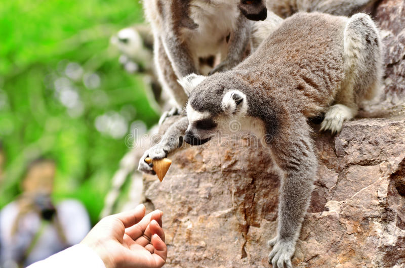 Little lemur sitting on a rock and takes carrots from tourist hands in the Shanghai Zoo. stock photo