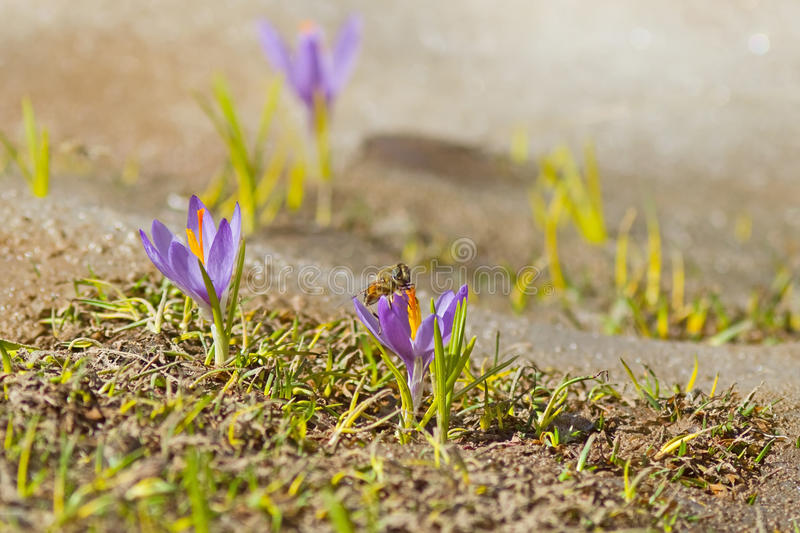 Download Little Lilies And A Bee stock image. Image of flower - 25767603