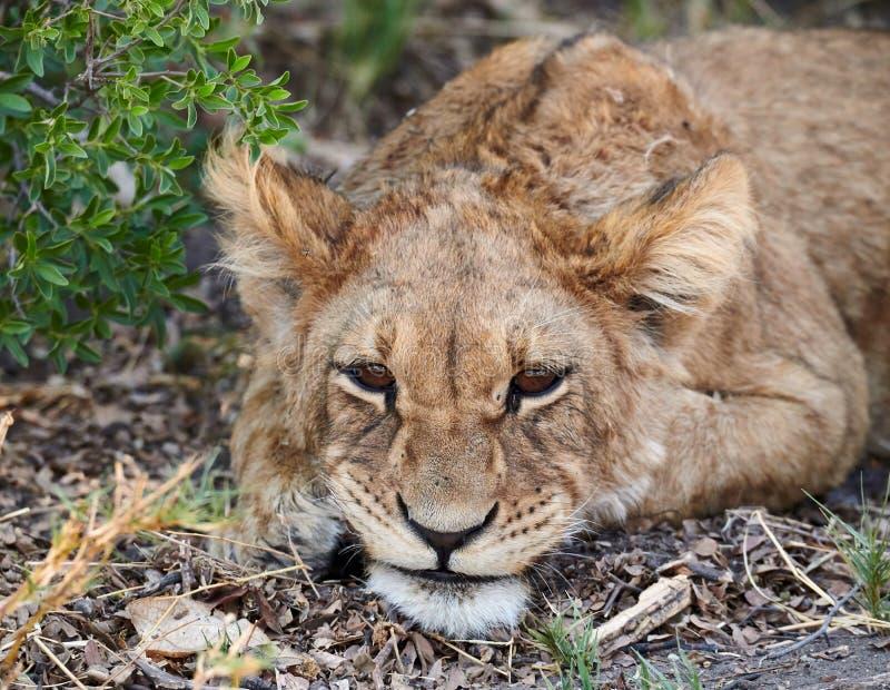 Lion cub Panthera leo royalty free stock photography