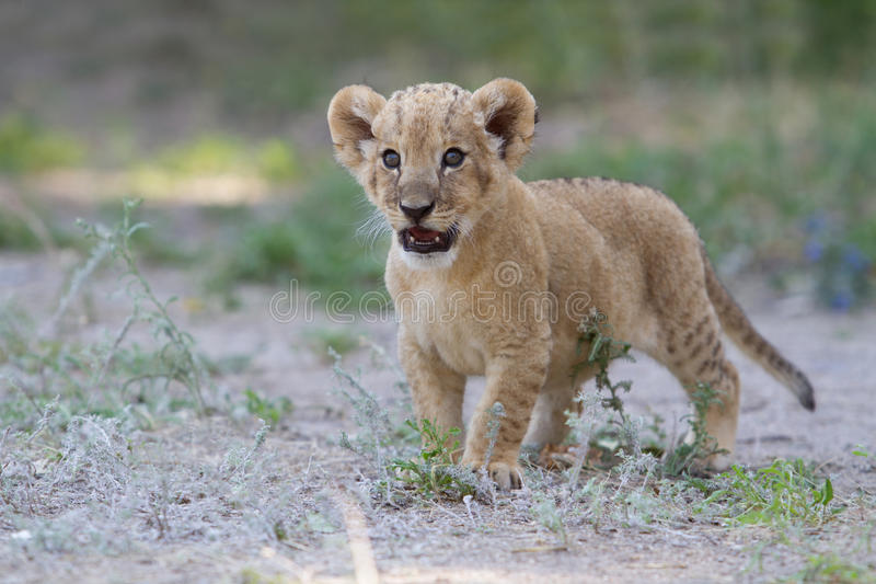 Little lion cub shows his teeth with a roar stock image
