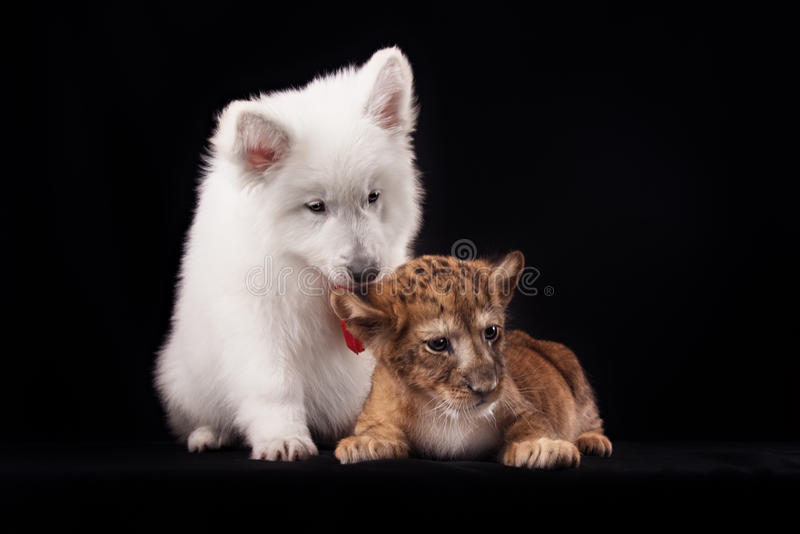 Little lion cub and white puppy. In Studio on black background stock images
