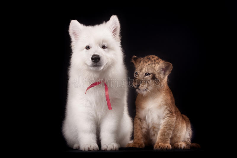 Little lion cub and white puppy. In Studio on black background royalty free stock photos