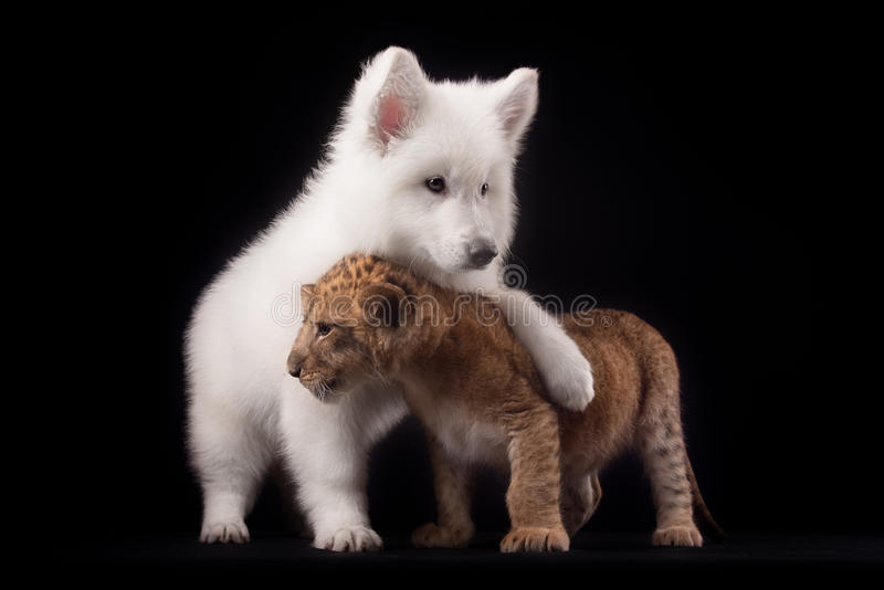 Little lion cub and white puppy. In Studio on black background stock photography