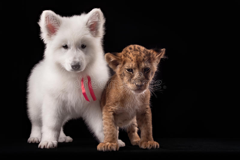 Little lion cub and white puppy. In Studio on black background royalty free stock photo