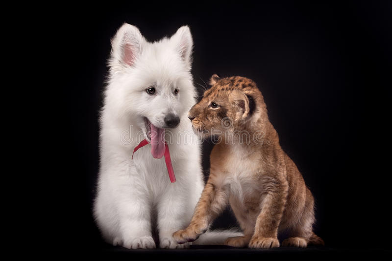 Little lion cub and white puppy. In Studio on black background royalty free stock image
