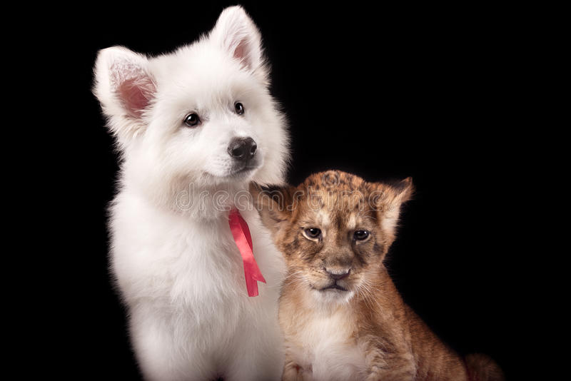 Little lion cub and white puppy. In Studio on black background royalty free stock photography