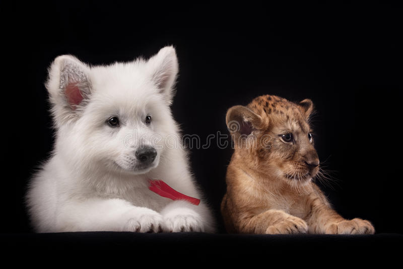 Little lion cub and white puppy. In Studio on black background stock photo