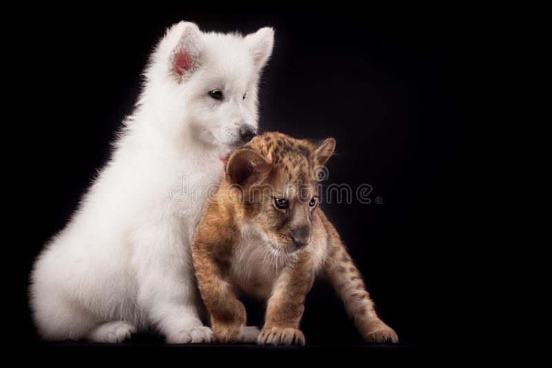 Little lion cub and white puppy. In Studio on black background stock photos