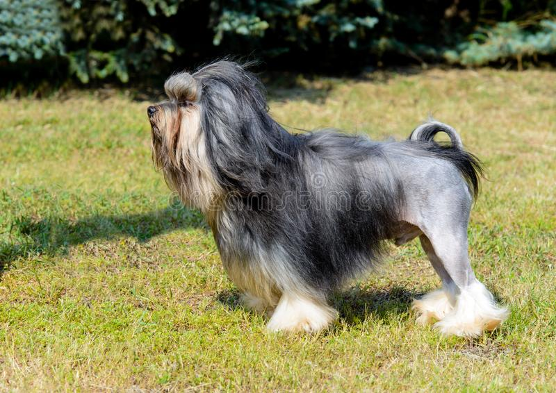 Little Lion Dog in profile. stock photo