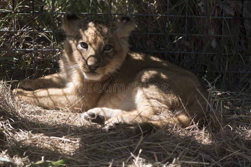 The little lion lies on a grass stock photos