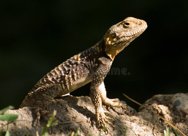 Download Little Lizard Royalty Free Stock Images - Image: 1415299