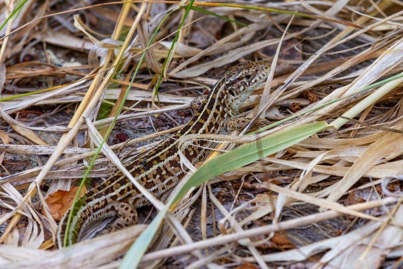 Little lizard among dry grass royalty free stock photos