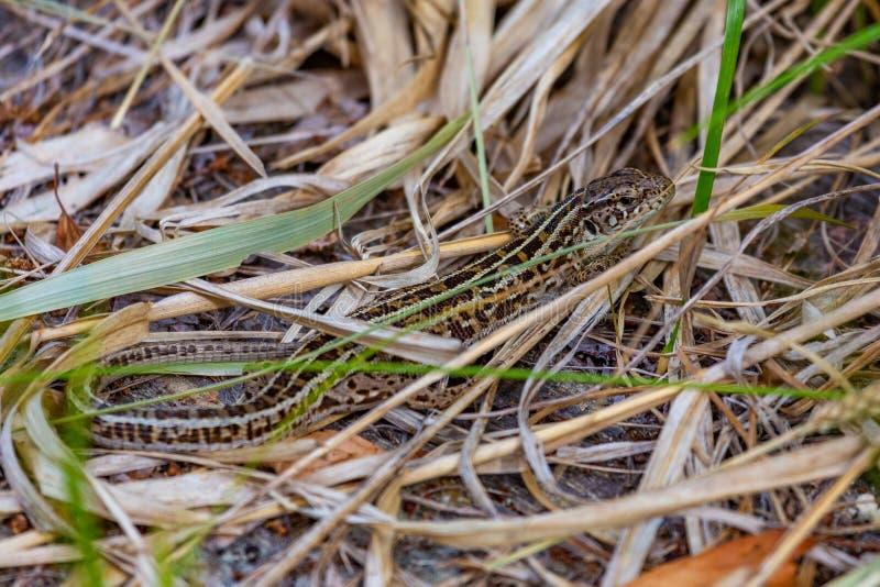 Little lizard among dry grass stock image