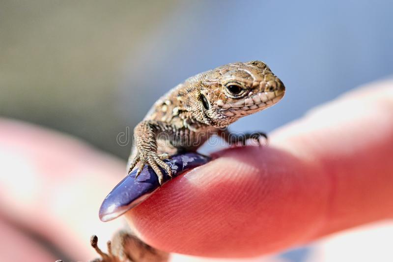 little lizard on a female finger close up stock photo