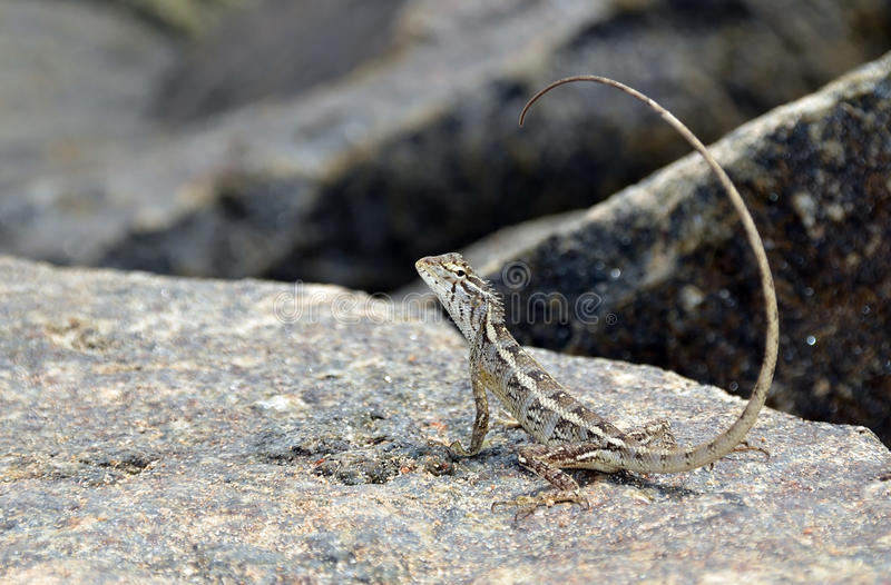 Little lizard with long tail on the rock in nature photo. Little lizard with long tail on the rock in nature detail photo royalty free stock photography