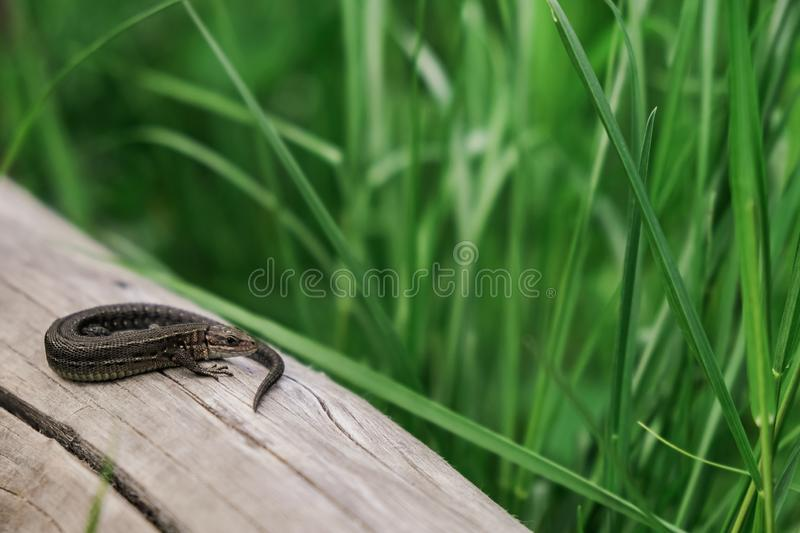 Little lizard looking at camera. Reptile with tail, place for text royalty free stock image