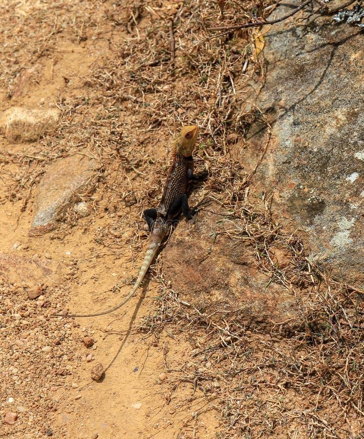 Little lizard in Sri Lanka stock images