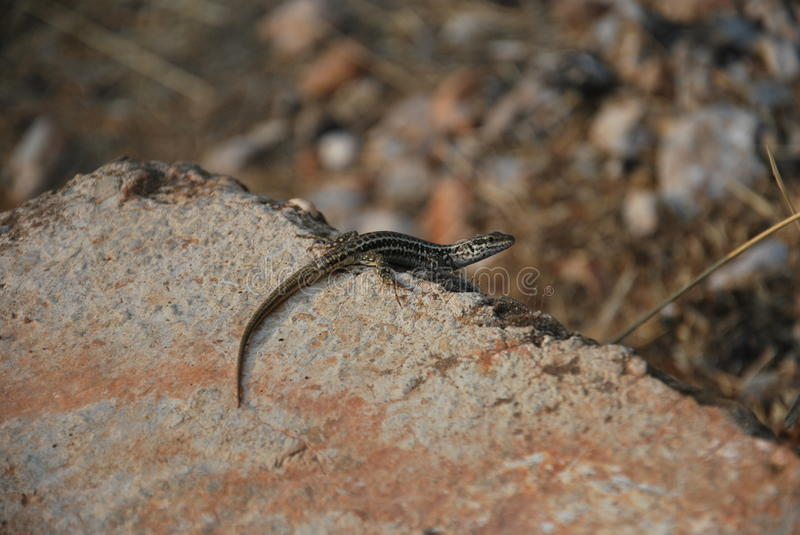 A little lizard. On a stone in Macedonia looking what the photographer is doing royalty free stock image