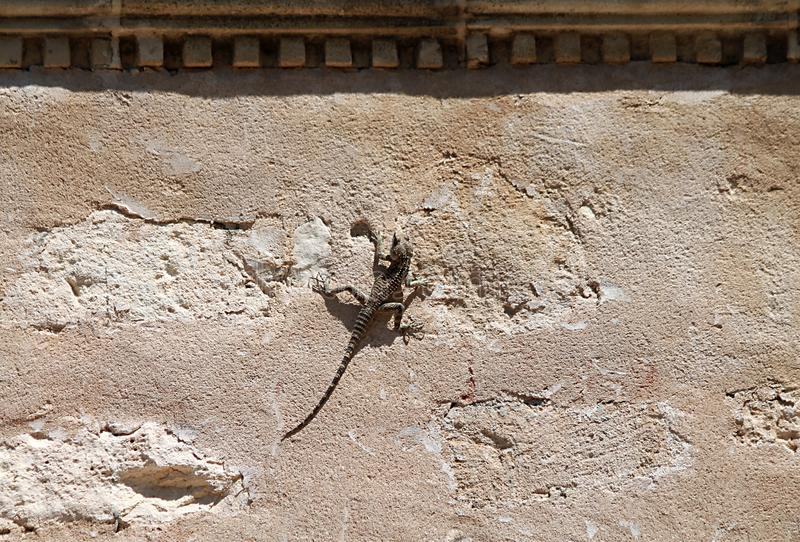 Little lizard on a wall. Little lizard sitting on an old shabby stone wall royalty free stock photo