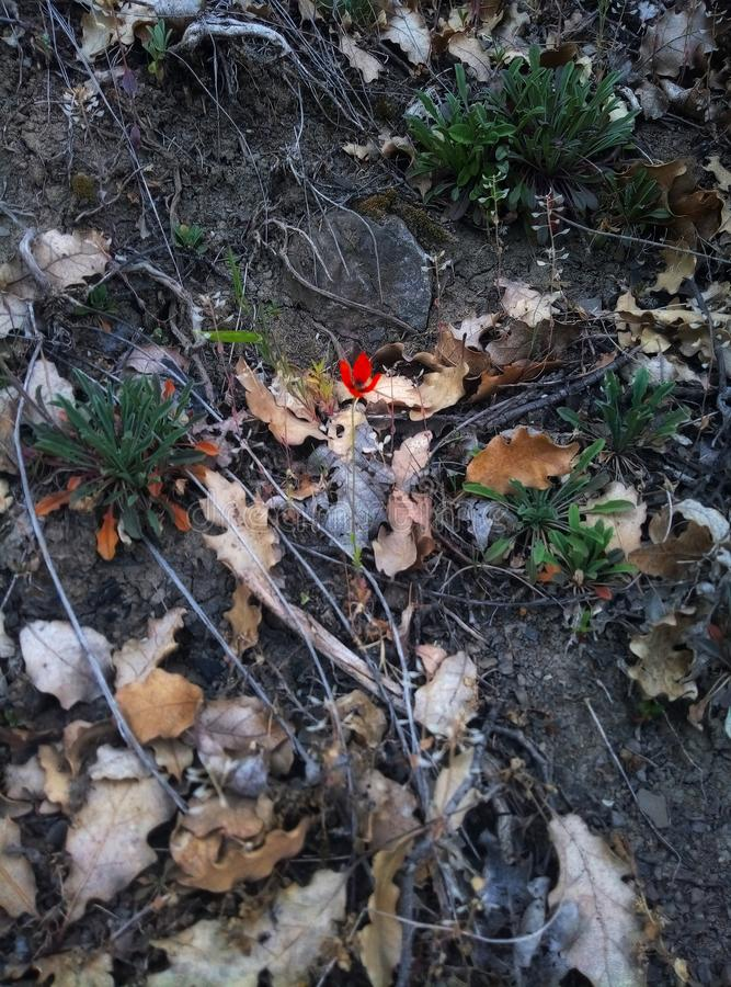 Little lonely red poppy in the forest  Spring loneliness land,Republic of Crimea stock photography