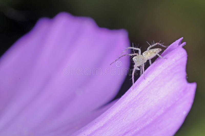 Download Little lynx spider stock photo. Image of forest, agriculture - 29487734