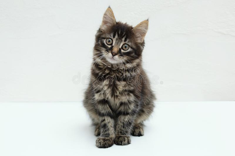 Little Maine Coon kitten. Sitting on white background royalty free stock photos