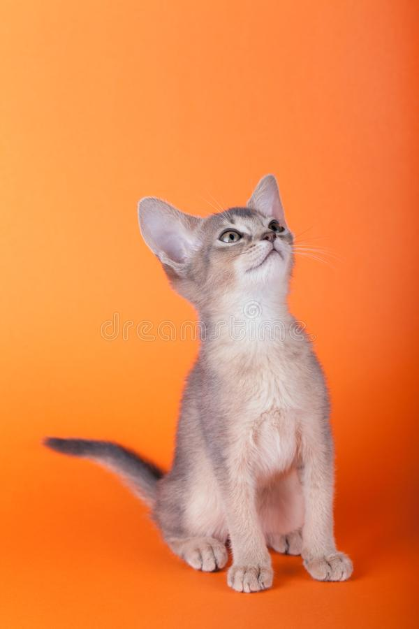 An little male abyssinian blue cat, kitty. An little abyssinian blue cat, kitty on a orange background royalty free stock photography