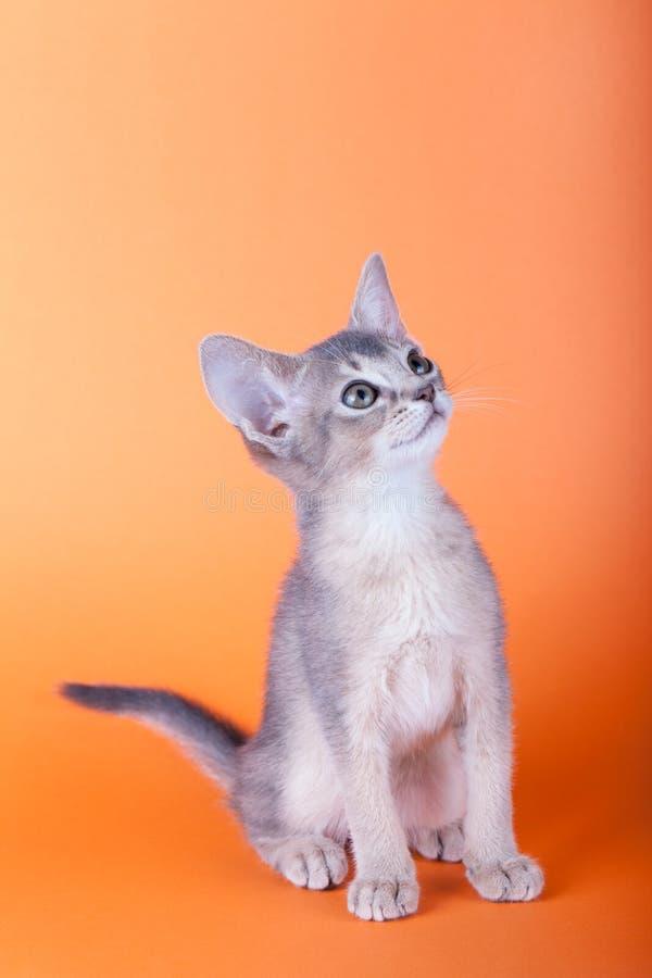 An little male abyssinian blue cat, kitty. An little abyssinian blue cat, kitty on a orange background stock photo