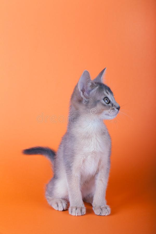 An little male abyssinian blue cat, kitty. An little abyssinian blue cat, kitty on a orange background stock image