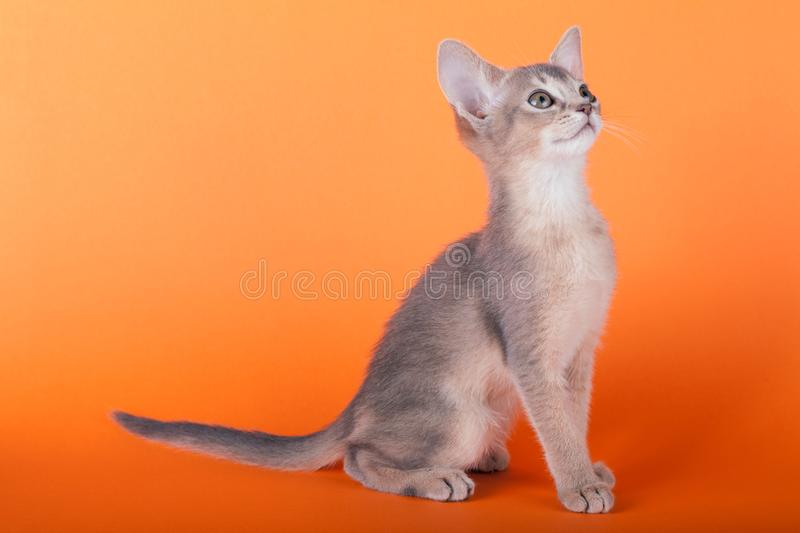 An little male abyssinian blue cat, kitty. An little abyssinian blue cat, kitty on a orange background royalty free stock photo