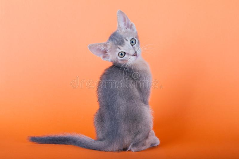 An little male abyssinian blue cat, kitty. An little abyssinian blue cat, kitty on a orange background royalty free stock image