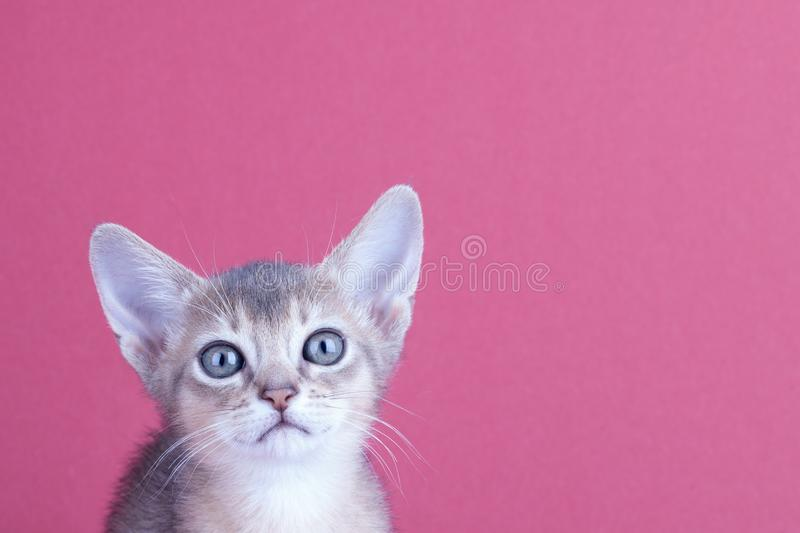 An little male abyssinian blue cat, kitty. An little abyssinian blue cat, kitty on a pink background stock photos