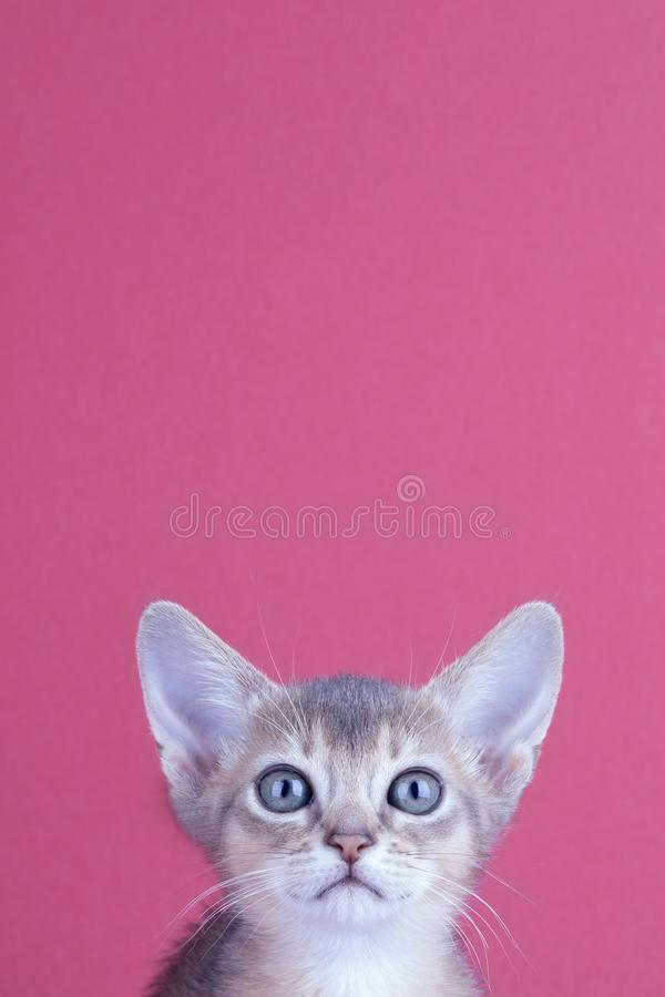 An little male abyssinian blue cat, kitty. An little abyssinian blue cat, kitty on a pink background stock image