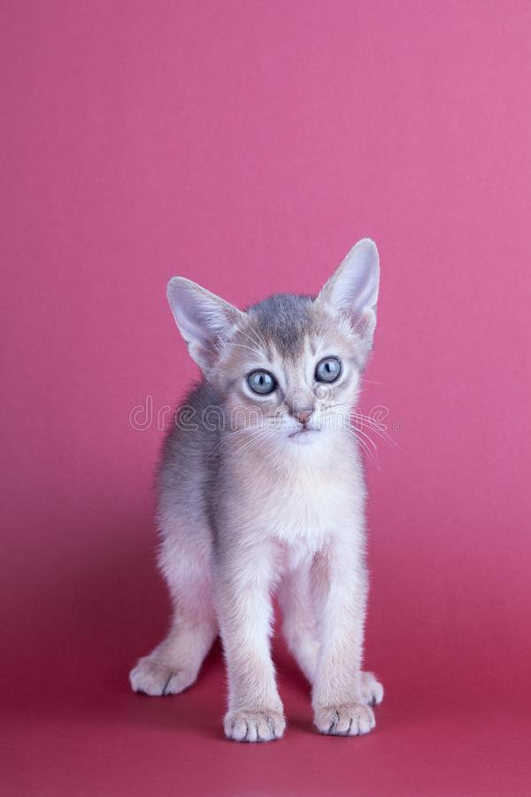An little male abyssinian blue cat, kitty. An little abyssinian blue cat, kitty on a pink background stock photos