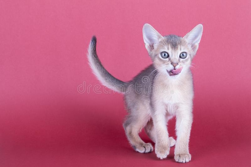 An little male abyssinian blue cat, kitty. An little abyssinian blue cat, kitty on a pink background royalty free stock photo