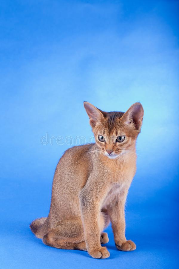An little male abyssinian ruddy cat, kitty. An little abyssinian ruddy cat, kitty on a blue background stock photos