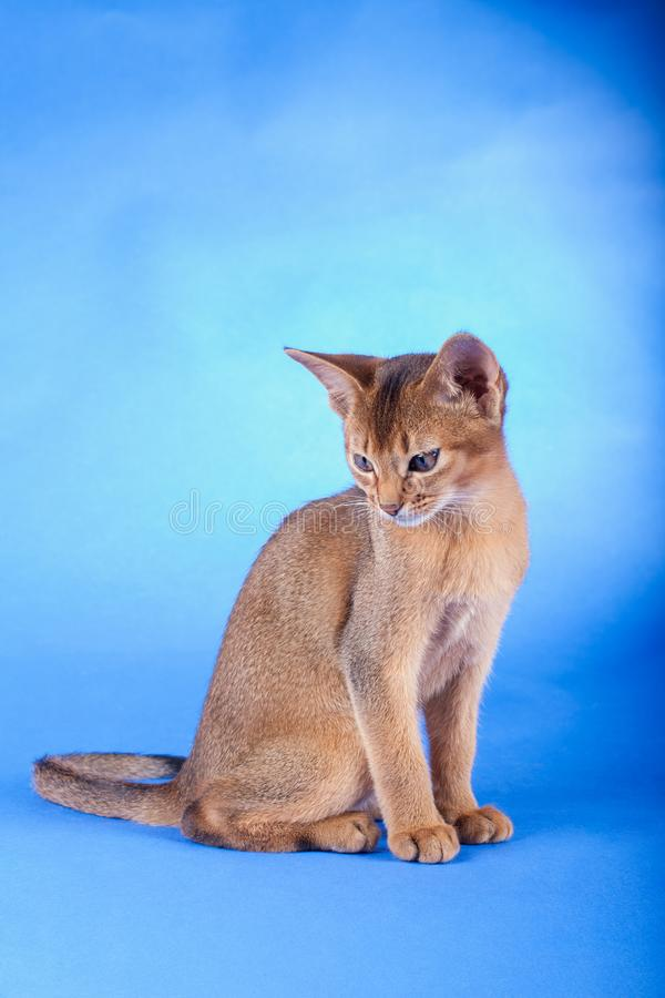 An little male abyssinian ruddy cat, kitty. An little abyssinian ruddy cat, kitty on a blue background stock photography