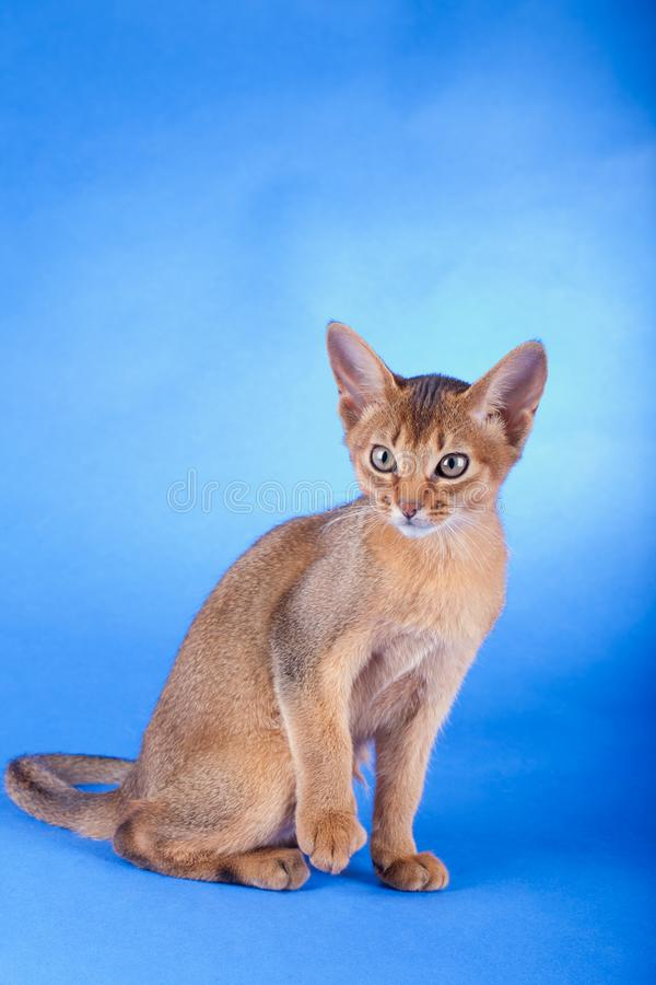 An little male abyssinian ruddy cat, kitty. An little abyssinian ruddy cat, kitty on a blue background royalty free stock photography