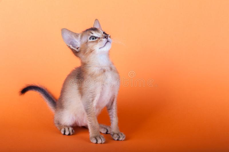 An little male abyssinian ruddy cat, kitty. An little abyssinian ruddy cat, kitty on a orange background royalty free stock photo