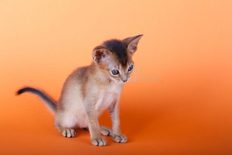 An little male abyssinian ruddy cat, kitty. An little abyssinian ruddy cat, kitty on a orange background stock photos