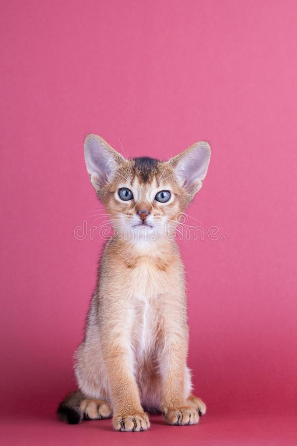 An little male abyssinian ruddy cat, kitty. An little abyssinian ruddy cat, kitty on a pink background stock image