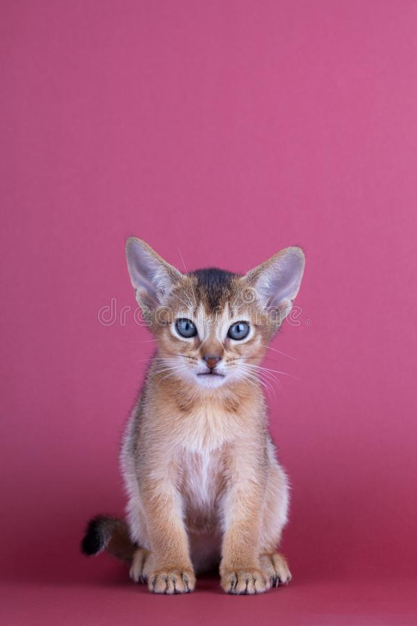 An little male abyssinian ruddy cat, kitty. An little abyssinian ruddy cat, kitty on a pink background stock photography