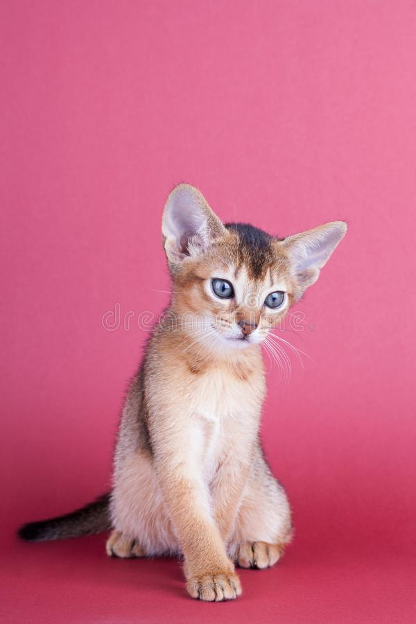 An little male abyssinian ruddy cat, kitty. An little abyssinian ruddy cat, kitty on a pink background stock images
