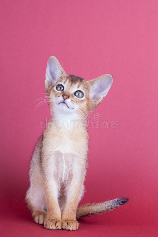 An little male abyssinian ruddy cat, kitty. An little abyssinian ruddy cat, kitty on a pink background royalty free stock images