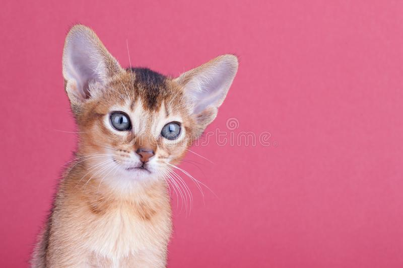 An little male abyssinian ruddy cat, kitty. An little abyssinian ruddy cat, kitty on a pink background royalty free stock photography