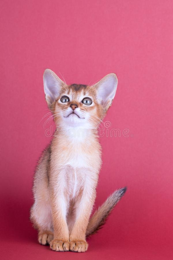 An little male abyssinian ruddy cat, kitty. An little abyssinian ruddy cat, kitty on a pink background royalty free stock photo