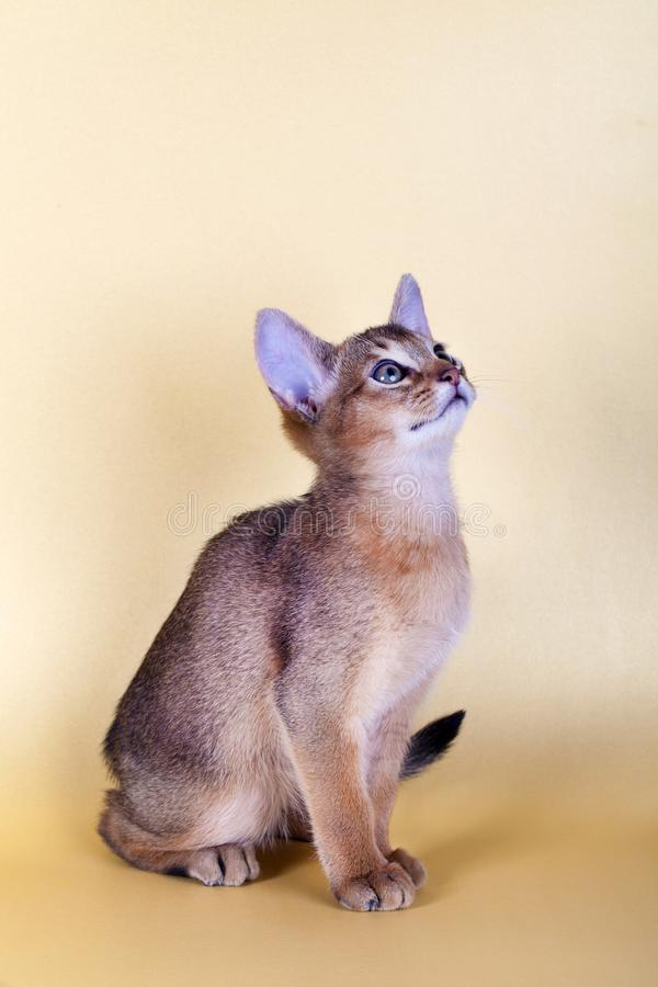 An little male abyssinian ruddy cat, kitty. On a yellow background royalty free stock image
