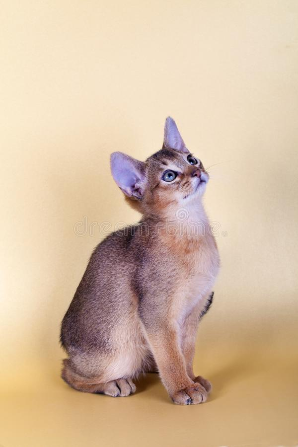 An little male abyssinian ruddy cat, kitty. On a yellow background royalty free stock photo