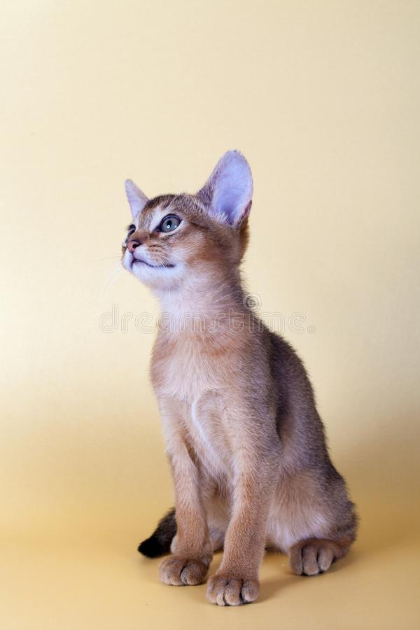 An little male abyssinian ruddy cat, kitty. On a yellow background stock image