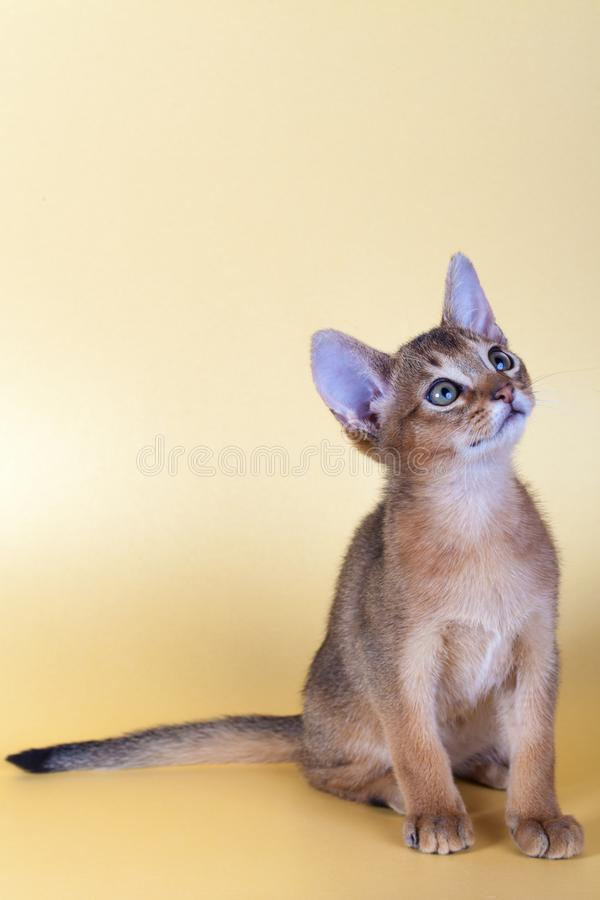 An little male abyssinian ruddy cat, kitty. On a yellow background royalty free stock photography